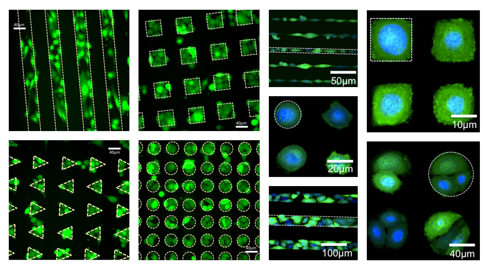 cells patterned with InnoStamp40
